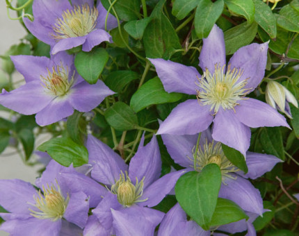 Clematis cezanne (tm evipo023)