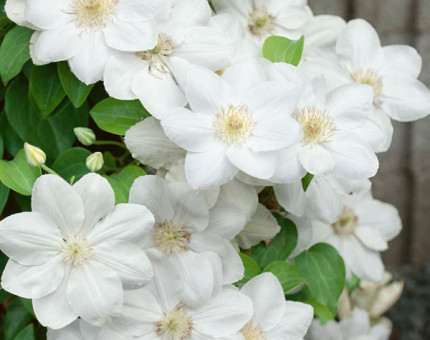 Clematis chantilly (tm evipo021)