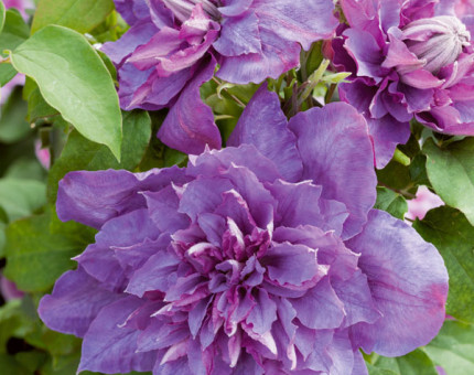 Clematis vyvyan pennell