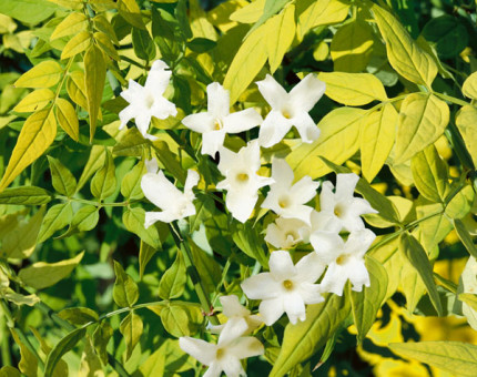 Jasminum officinale fiona sunrise (frojas)