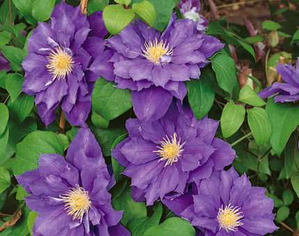 Clematis beauty of worcester