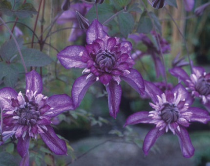 Clematis cassis (evipo20)