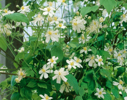Clematis fargesioides summer snow